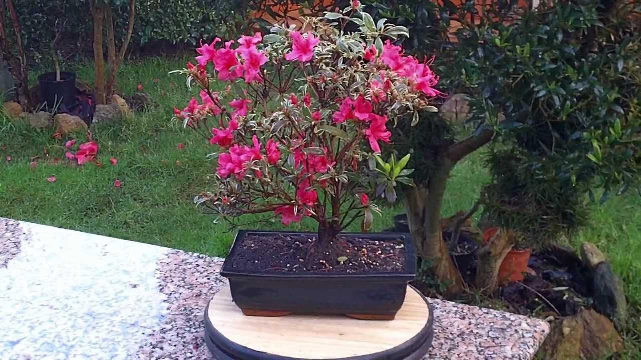 Consejos sobre en cuidado de las azaleas 12 marzo 2013 - Azalea cuidados planta ...