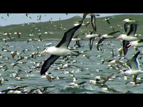 World's Largest Albatross Colony | Blue Planet | BBC Earth