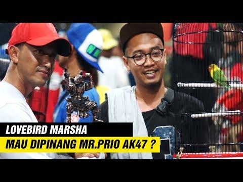 SOLO VAGANZA 2018 : Mr. Prio AK47 Pinang Lovebird Betina MARSHA, Untuk Jodoh BIANGKEROK?