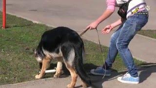 Как научить собаку приносить палку, подзыв в помощь обучению апортировке