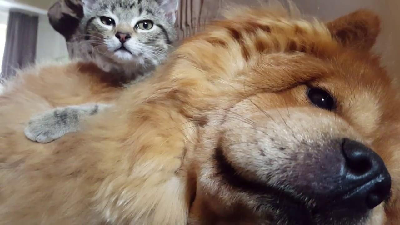 Resultado de imagen para chow chow and cat