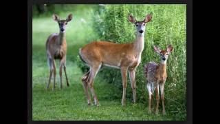 Deer pic video  us 426