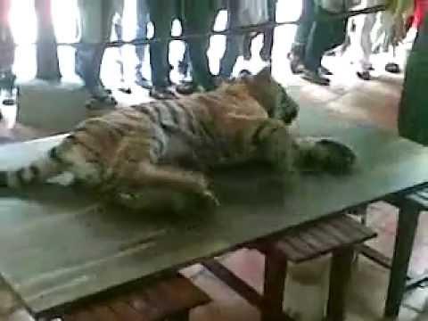 Hổ dử ăn thịt người