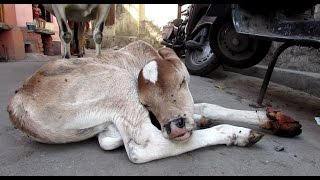 Injured baby calf rescued; mama refuses to leave his side