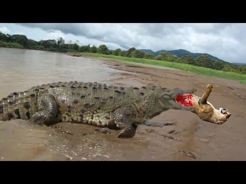 GIANT CROCODILE ATTACKS COMPILATION | BIGGEST CROCODILE IN THE WORLD DOCUMENTARY 2016