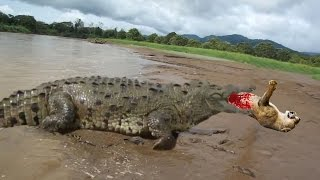 GIANT CROCODILE ATTACKS COMPILATION | BIGGEST CROCODILE IN THE WORLD DOCUMENTARY 2016