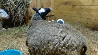 Подготовка к окоту. Окот овец. Роды и как это происходит.