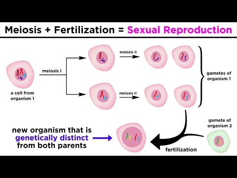 Meiosis, Gametes, and the Human Life Cycle