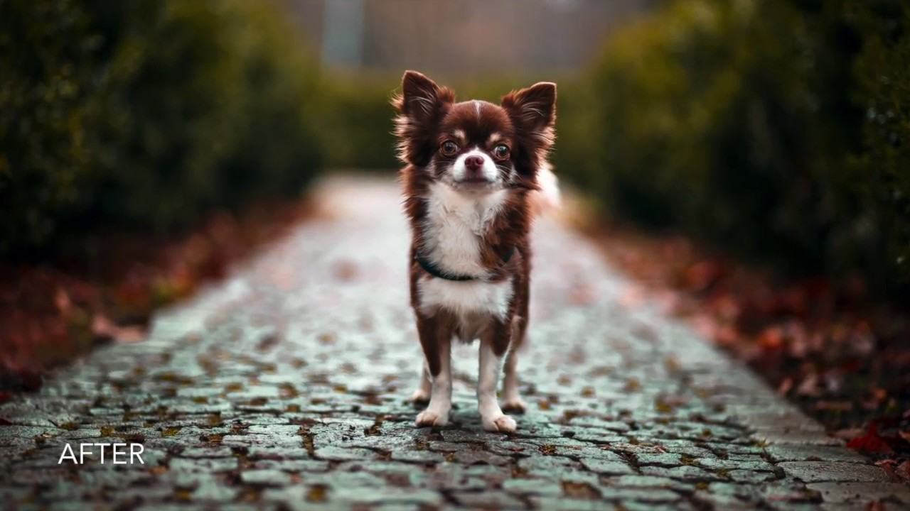 Dog Photography - Lightroom & Photoshop editing