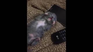 Котёнок бегает в во сне!