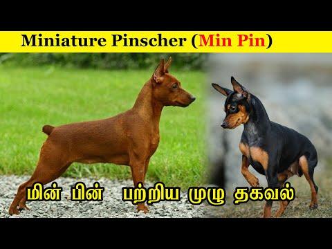 Miniature Pinscher  Min Pin / பற்றிய  முழு  தகவல் /  Dog Breed Profile / JIJO KENNEL