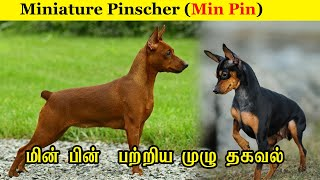 Miniature Pinscher  Min Pin / பற்றிய  முழு  தகவல் /  Dog Breed Profile / JIJO KENNEL