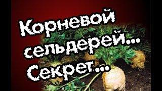 Секреты выращивания корневого сельдерея. Заморозка листьев.