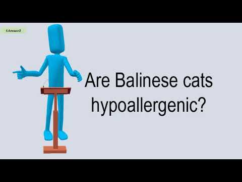 Are Balinese Cats Hypoallergenic?