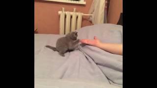 Котенок-шотландец стоит на задних лапах. 1,5 месяца