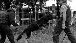 Немецкие овчарки Гектор и Зеста. Тренировка по охране территории.