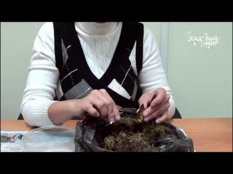 Как размножить лилию чешуйками осенью