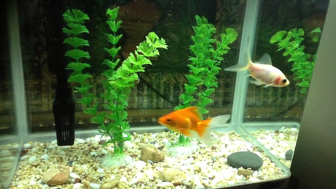 Poisson rouge et com te youtube for Poisson aquarium 30l