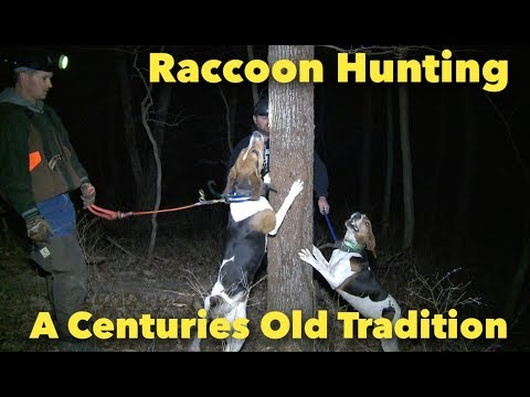 An Old Tradition Of Raccoon Hunting With Walkers