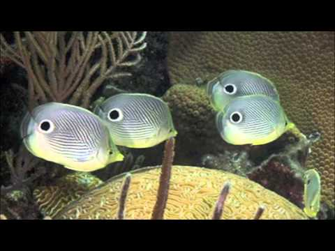 Foureyed Butterfly Fish