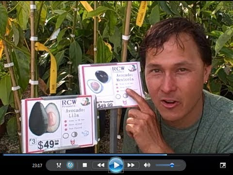 Cold Hardy Avocado Trees withstand 15 degrees & Edible Skin