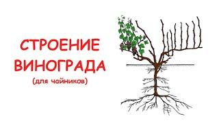 Строение винограда (для чайников)(, 2016-01-28T15:26:12.000Z)