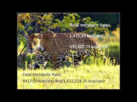 Jaguar x Peccary and Bass
