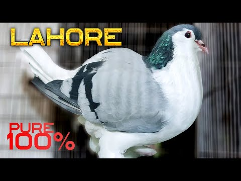 World's Most Beautiful Fancy Pigeon Lahore - Siraji | Unique Fancy Pigeon