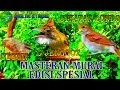Masteran Murai Speed Roll Tembak Edisi Spesial Paling Istimewa Ngekek(.mp3 .mp4) Mp3 - Mp4 Download