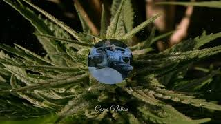 Sacar ( Lil Buddha )- Ganja Nation