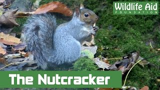 Amazing Squirrel Playing Nutcracker