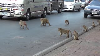 Monkeys. They are everywhere, on cars, roofs, balconies.
