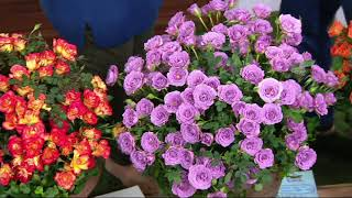 Cottage Farms 4-piece Sunblaze Miniature Rose Collection on QVC