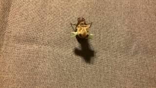 蝉(アブラゼミ)の羽化 cicada emergence 2015.8.4 元動画:90分 → iPh...
