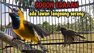 SOGON GACOR EDAN ketemu lawan langsung serang | Olive backed sunbird call