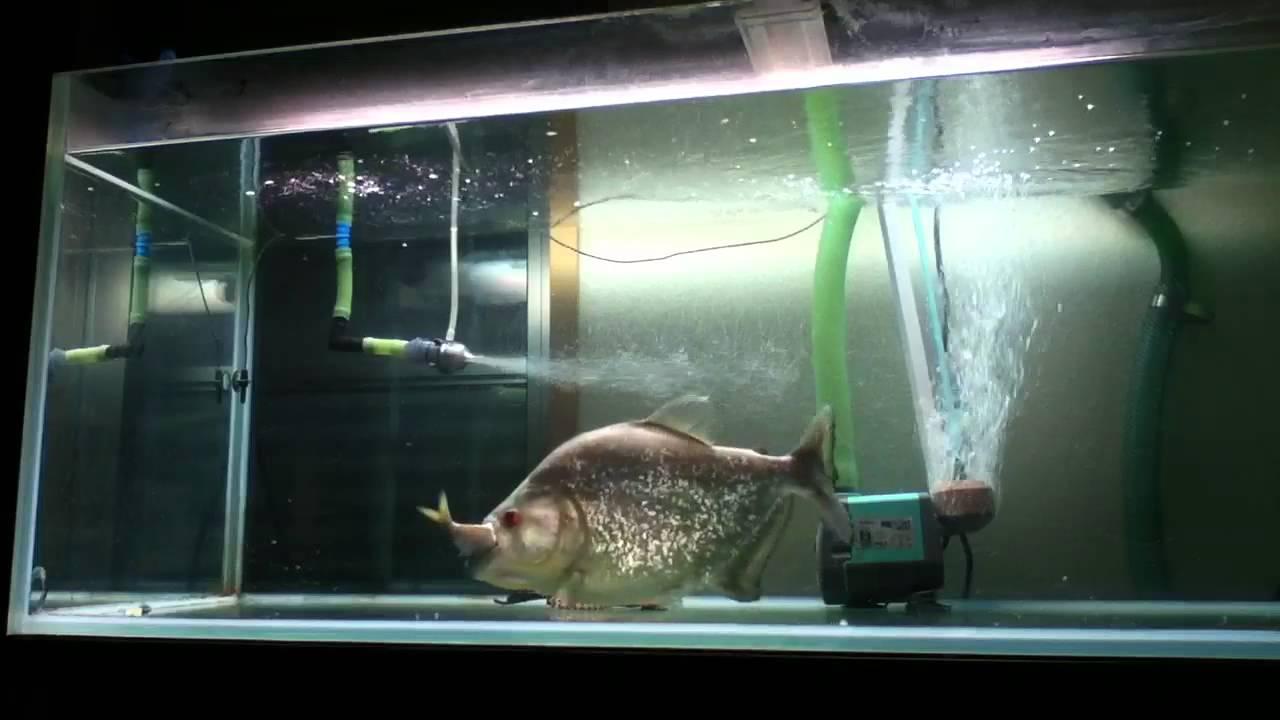 Diamond black piranha youtube for Piranha fish tank