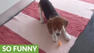 Beagle puppy confuses orange slice for toy