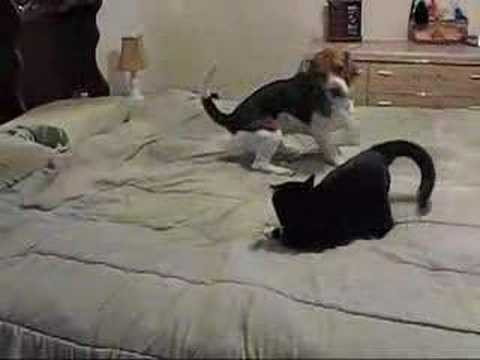 Cat Fights Beagle