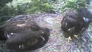 Humboldt Bay eagles,whole lot of squeeeeeing and beautiful fly off nest by Kyle,8/1/13