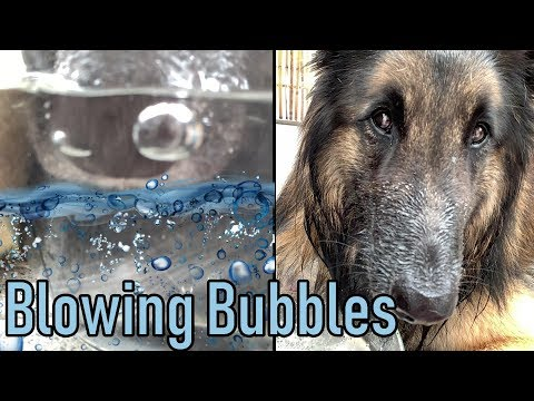 Dog Blows Bubbles in Water | Trick
