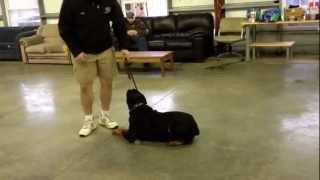 "Rottweiler ""doc"" Obedience Protection Trained Personal Guard Dog For Sale"
