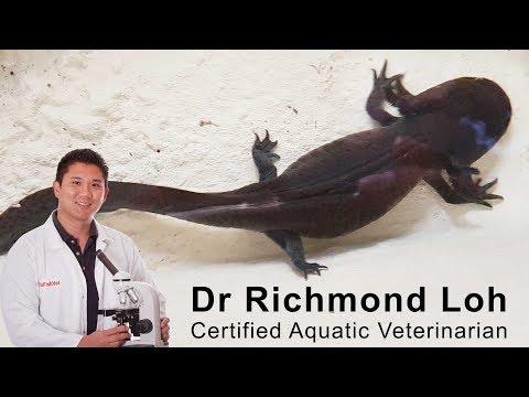Axolotl Not Eating. Fish Veterinarian Doctor Loh Treats An Axolotl That Stopped Eating.