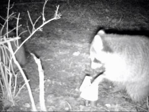 Raccoon get caught in a dp duke dog proof trap