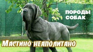 Породы собак. Мастино неаполитано