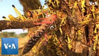 Locust Swarms Threaten Kenya's Food Supplies