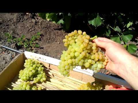 виноград Кишмиш 342 - сигнальный урожай | Кишмиш Венгерский