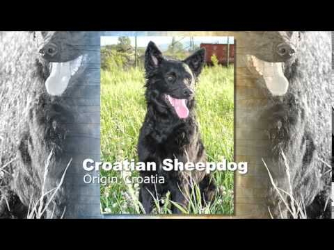 Croatian Sheepdog Dog Breed