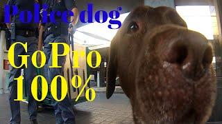 Police Dog At Work - 100% Gopro