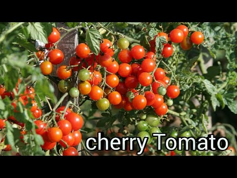 How To grow Cherry Tomato  from Seeds || How to germinate tomato Only In Cocopeat