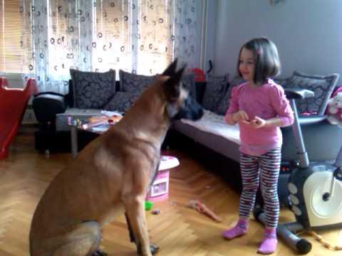 How to train belgian shepard - Malinois